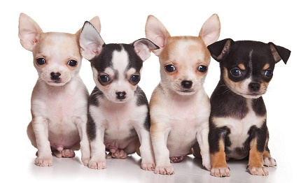 Scoperto Dalla Forestale Traffico Illecito Di Cuccioli Di Razza